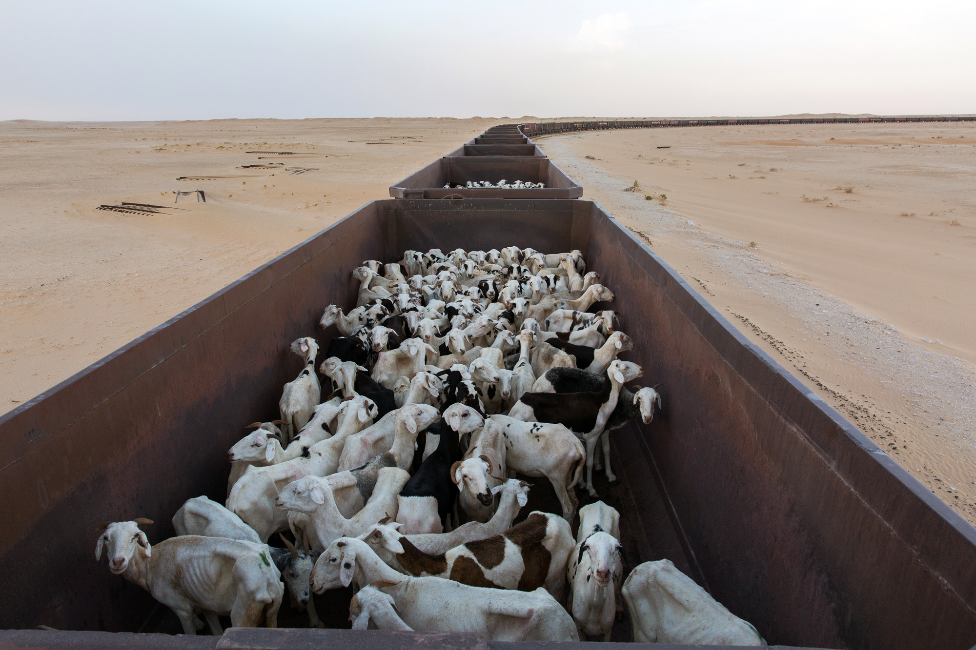 Goats are loaded into empty wagons that usually filled with iron ore on September 29, 2015. (George Popescu/GroundTruth)