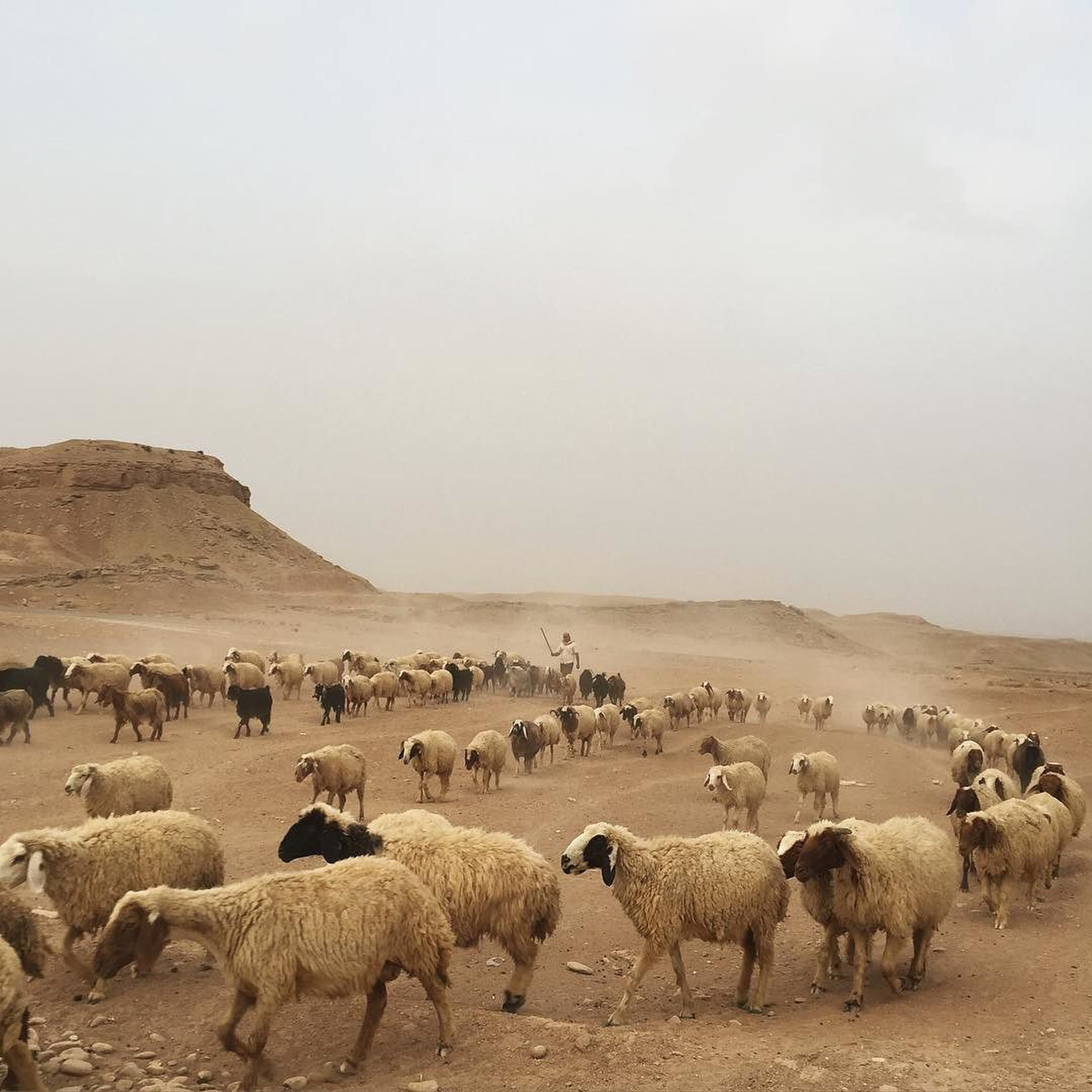 A sheep flock followed by their shepherd in Khanaqien, Diyala, Iraq. (Ahmad Mousa)