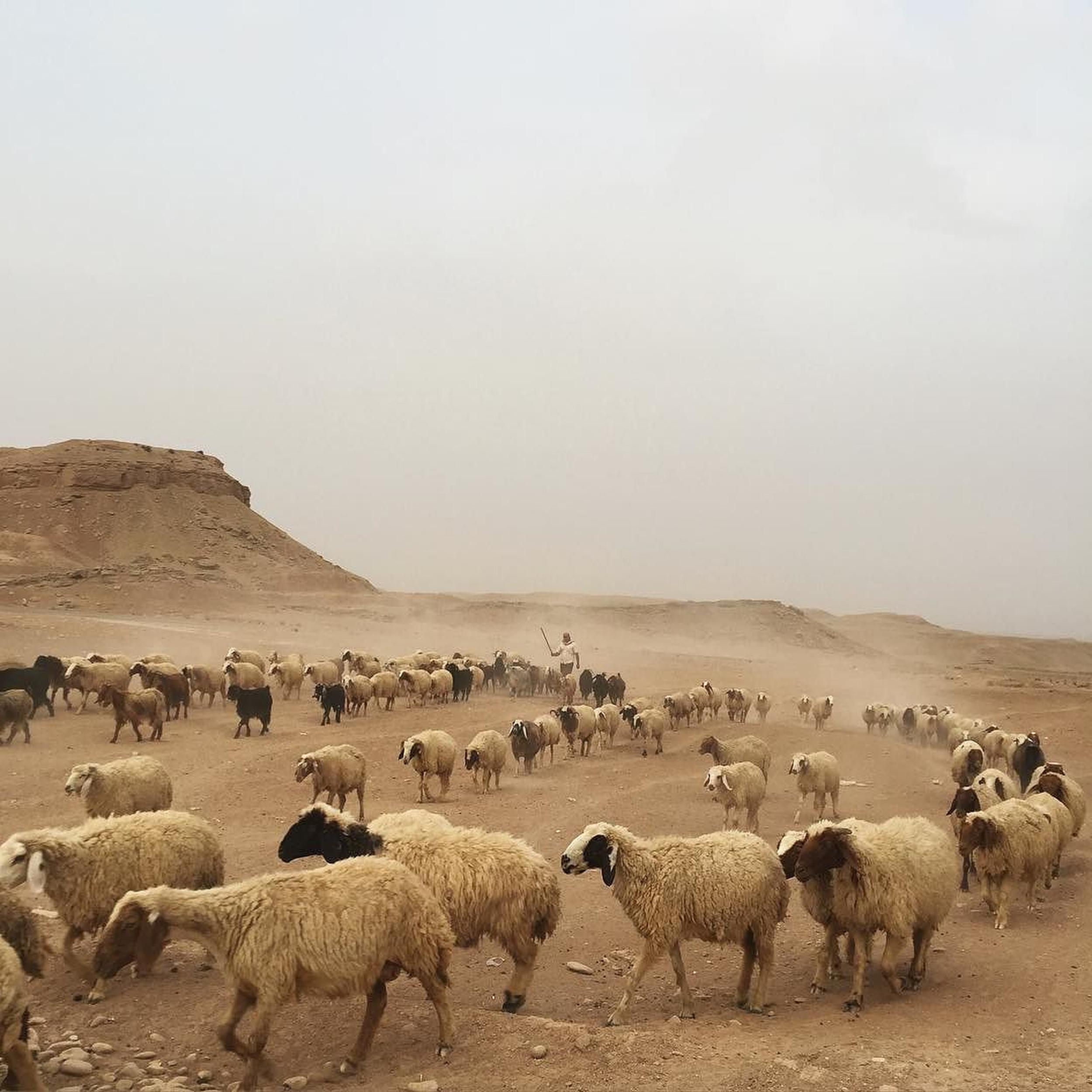 A sheep flock followed by their shepherd in Khanaqien, Diyala, Iraq. (Ahmad Mousa)