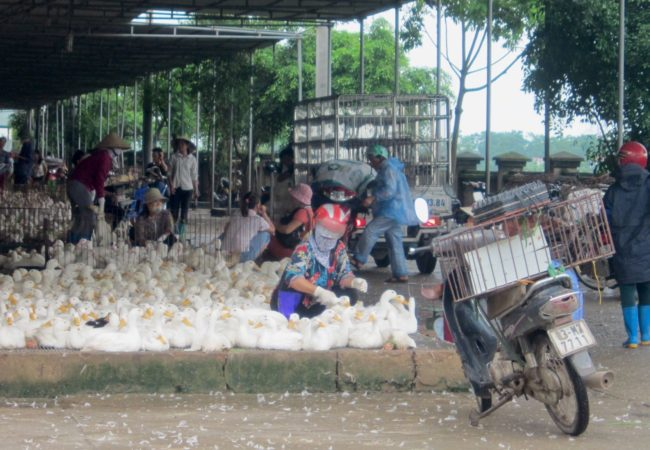 Farmers sell their ducks and chickens at the Ha Vy market outside Hanoi.