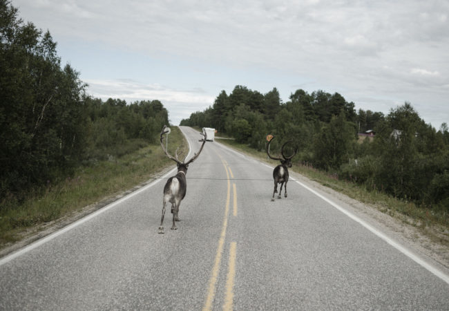 Reindeer crossing the street is not a rare sight driving on the roads in northern Scandinavia. (Camilla Andersen/GroundTruth)