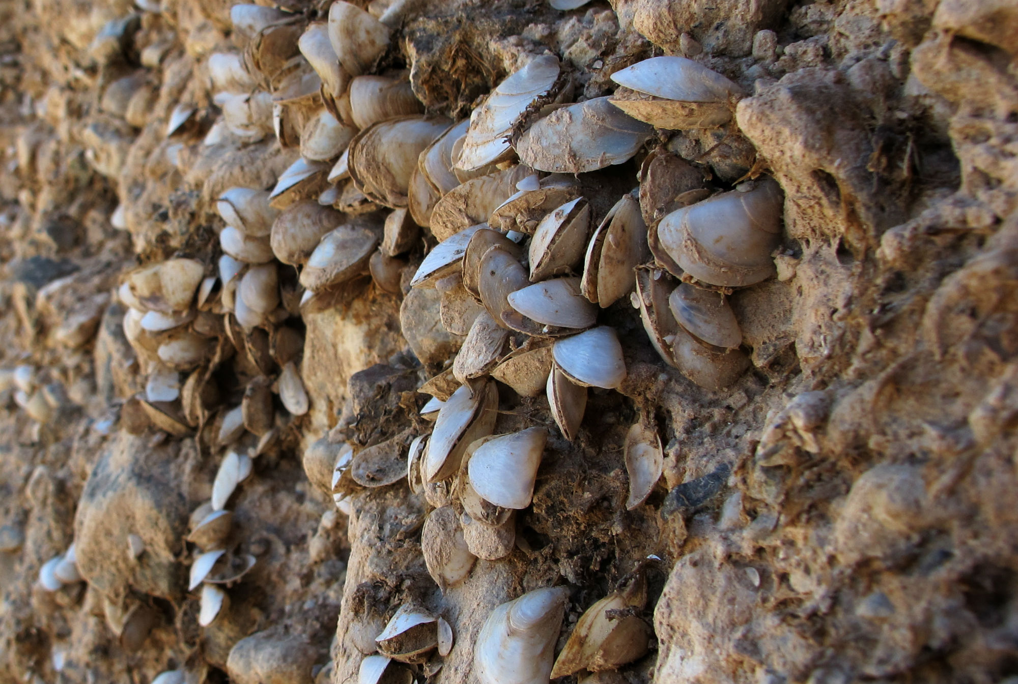 Mussels now cling to the dry lake walls on the way out to a marina on Mead's western shore, marking where water levels once rose.