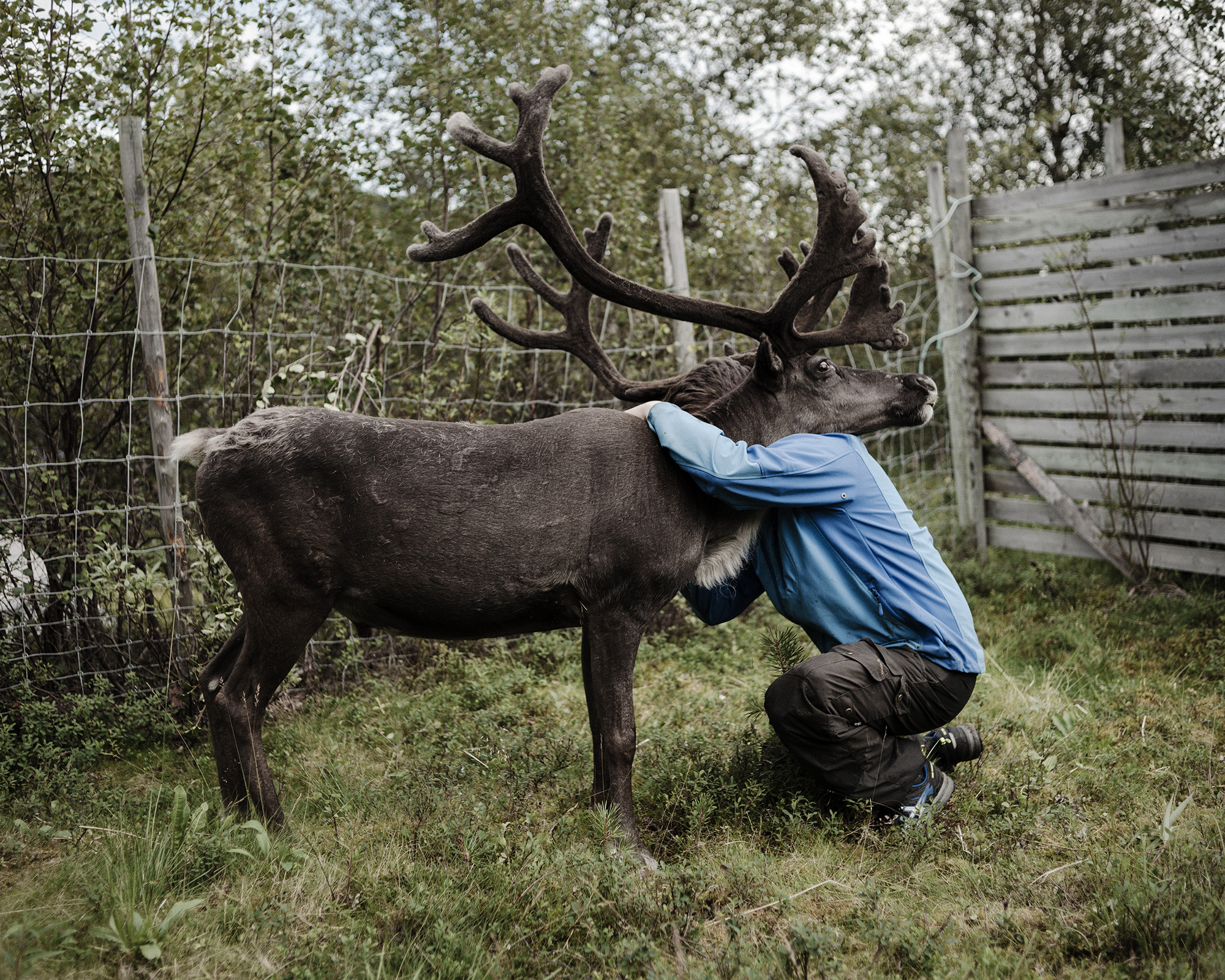Lasse Gaup, a young reindeer herder from Karasjok, Norway, with one of his reindeer. Reindeer husbandry is a round-the-clock job.   Much of the Sami philosophy is based around nature and animals. They believe that nature is only borrowed and should be given back in the same condition. (Camilla Andersen/GroundTruth)