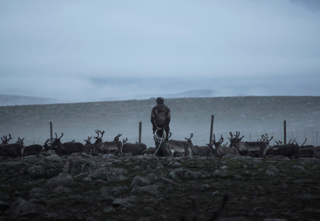 Reindeer herding families gather at this corral in northern Sweden to mark their calves. (Camilla Andersen/GroundTruth)