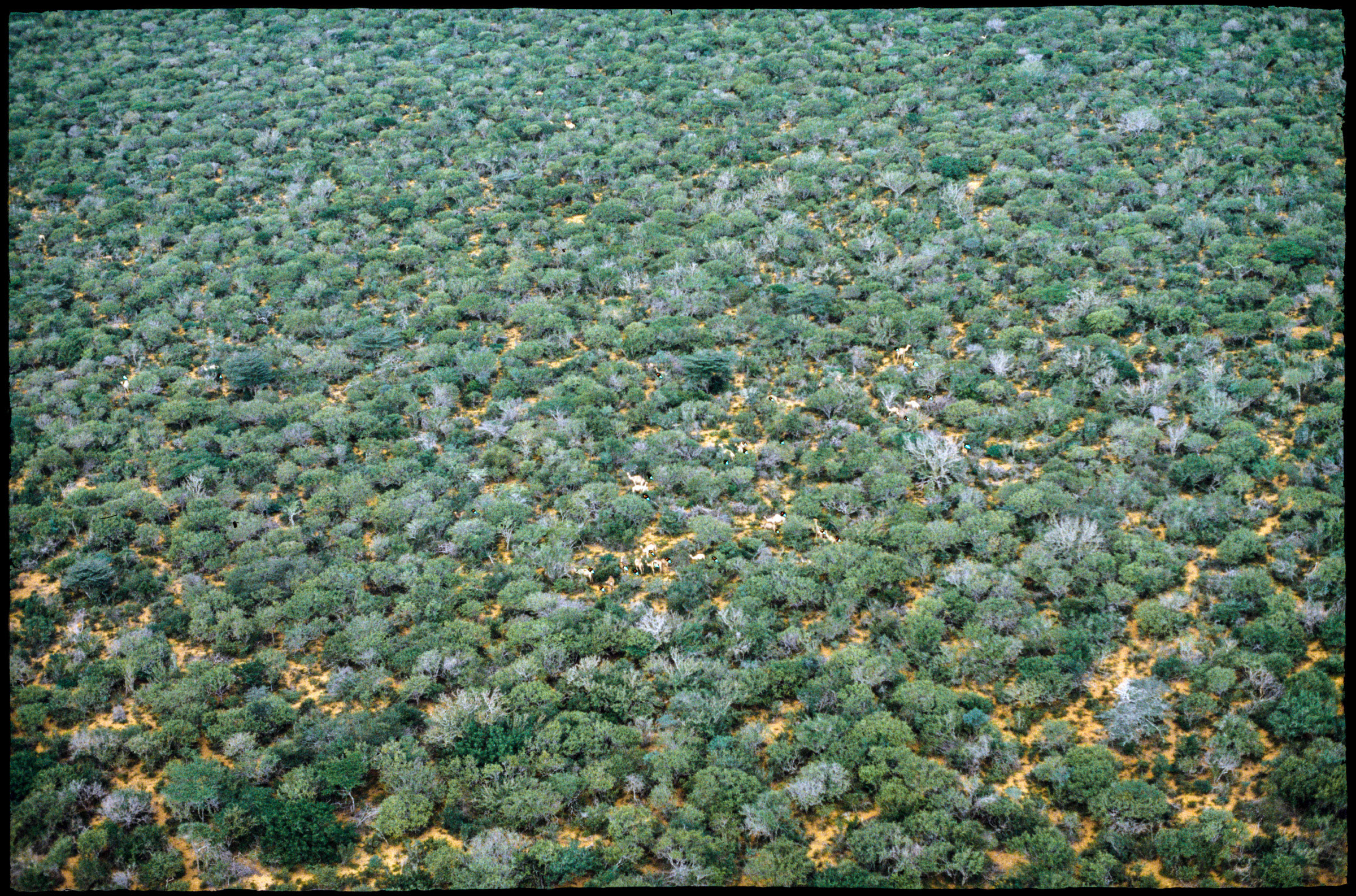 An aerial view of camels feeding on lush, green foliage, as photographed by a member of Dr. Watson's team in the late 1970s to early 1980s. (Courtesy of Resource Management and Research)