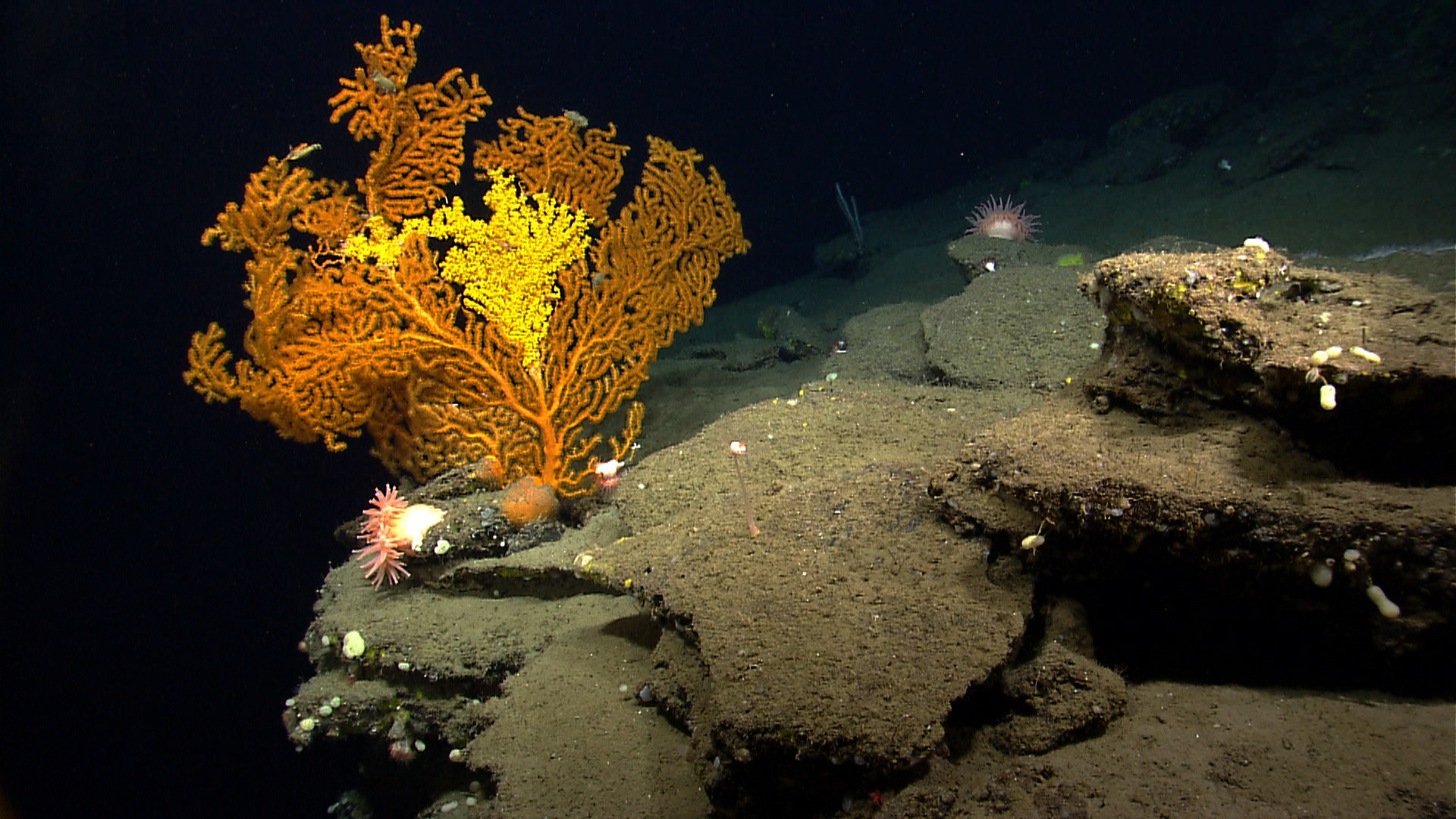 A Paramuricea coral in Nygren Canyon, 165 nautical miles southeast of Cape Cod, Massachusetts. The photograph was taken by the NOAA Ocean Explorer, Okeanos. (Photo Courtesy NOAA)