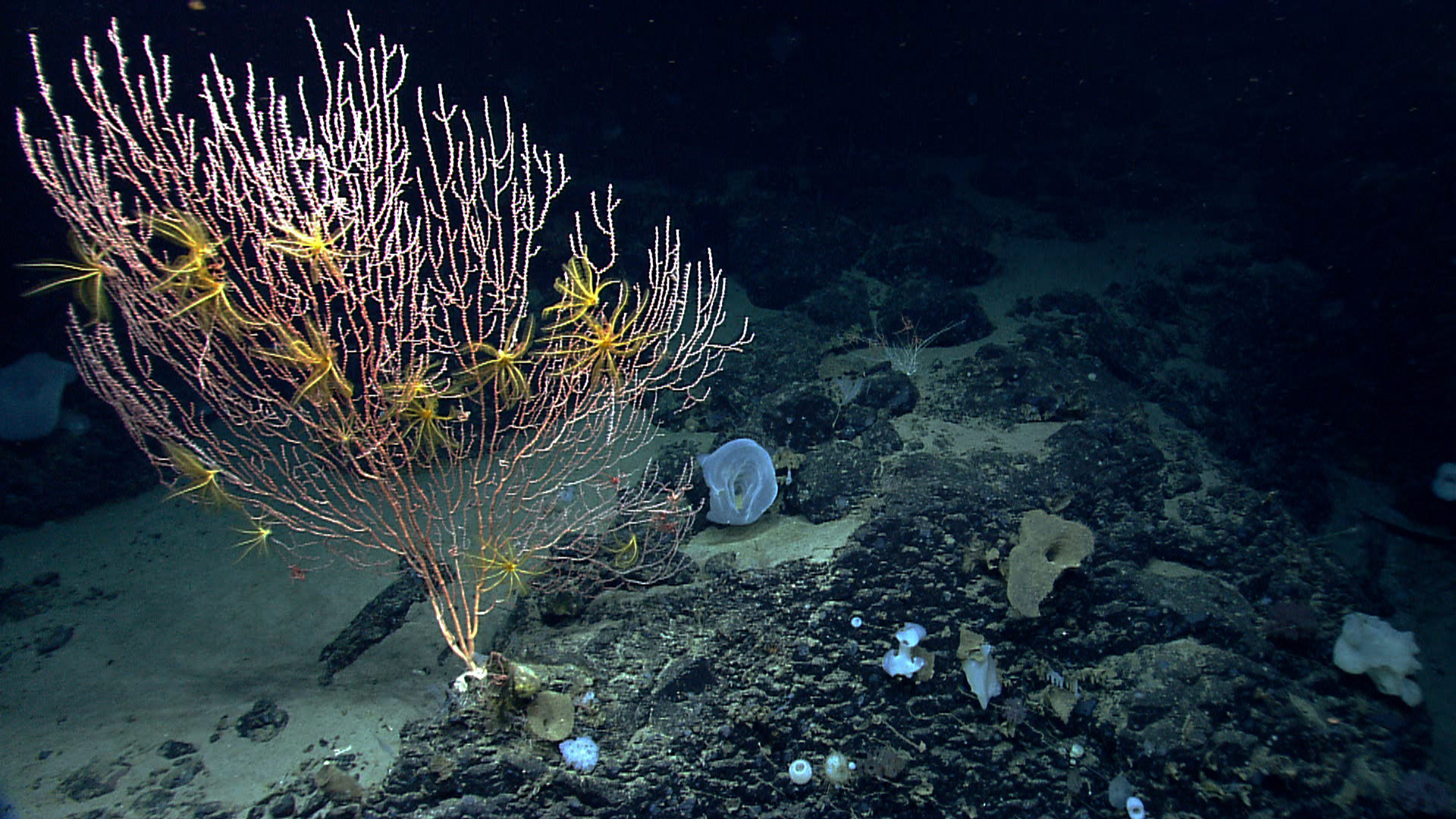 Scientists have discovered 73 species of corals in the Northeast Canyons and Seamounts, an underwater chain of mountains. A NOAA expedition pictured this colony of Jasonisis, a bamboo coral. (Photo Courtesy NOAA)