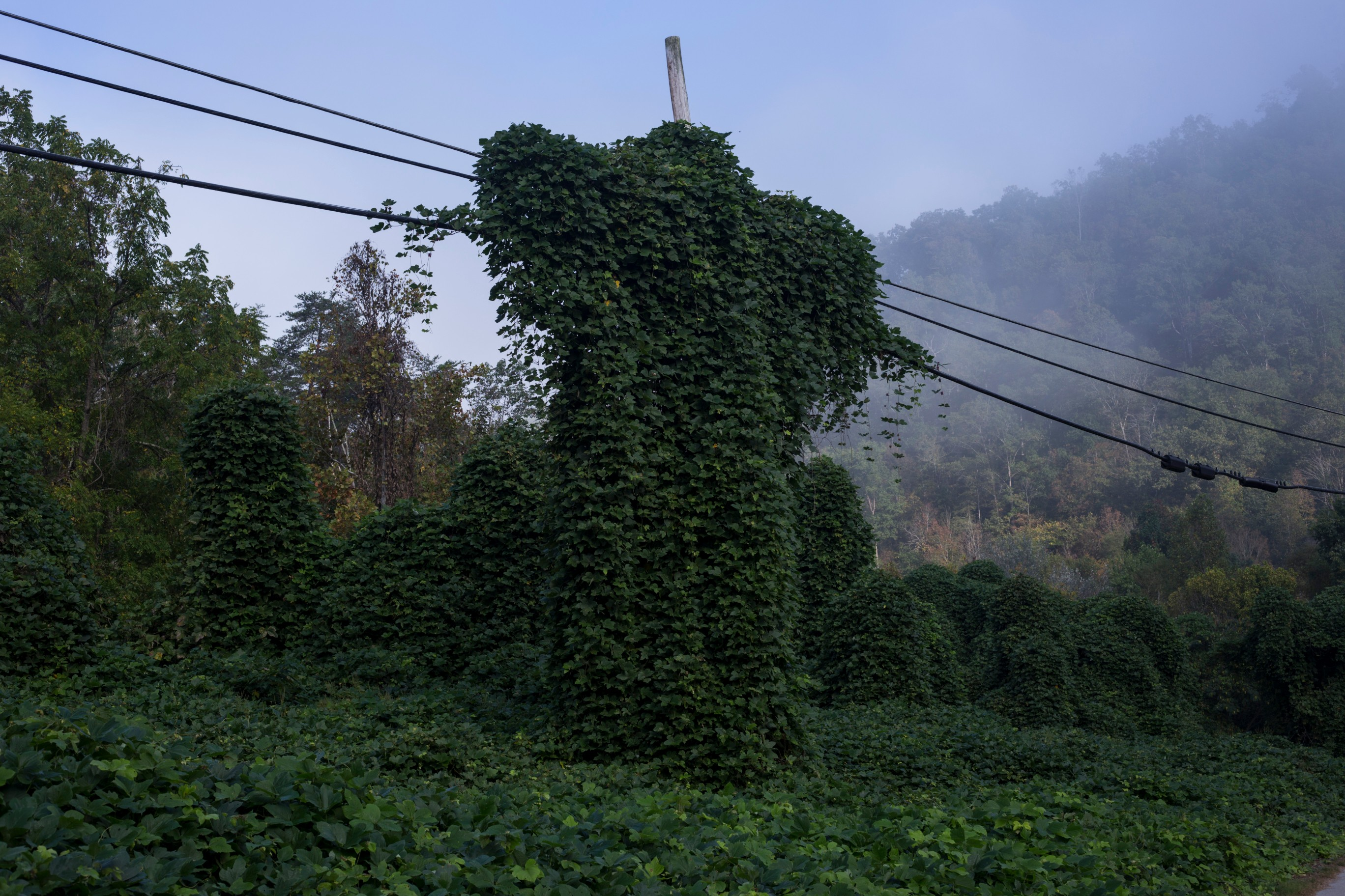 An electrical pole is over powered by kudzu in Hi Hat, Ky., on Friday, September 22, 2017. (Photo by Brittany Greeson/GroundTruth)