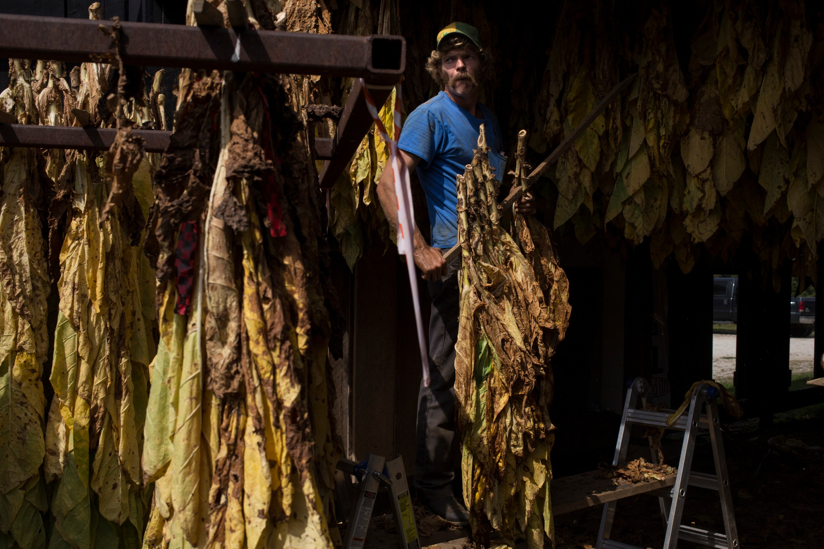 Thomas Morgan, 32, steadily lifts swaths of tobacco to be hung to dry at the Robinson Center for Appalachian Resource Sustainability in Quicksand, Ky., on Monday, September 27, 2017. (Photo by Brittany Greeson/GroundTruth)
