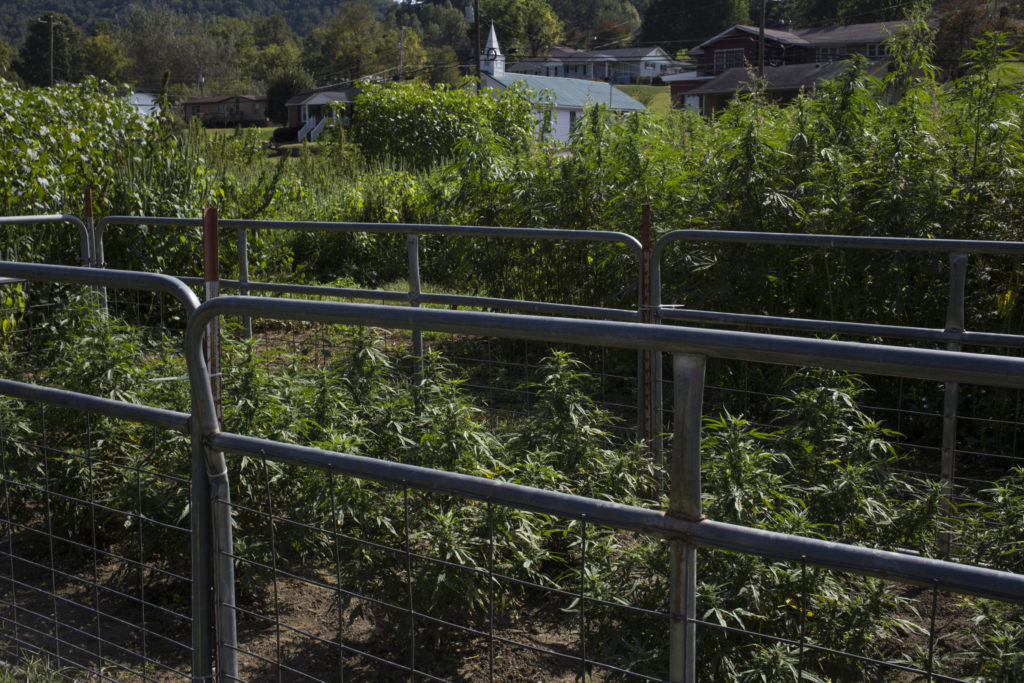 Hemp grown for CBD production and testing is seen at the Robinson Center for Appalachian Resource Sustainability in Quicksand, Ky., on Monday, September 25, 2017. (Photo by Brittany Greeson)