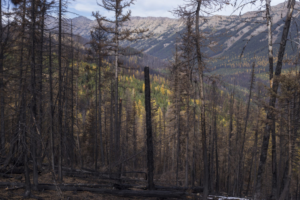A scorched tree from a recent forest fire is seen standing against a backdrop of forest just outside of Seeley Lake, Montana, on Thursday, October 19, 2017. (Photo by Brittany Greeson)