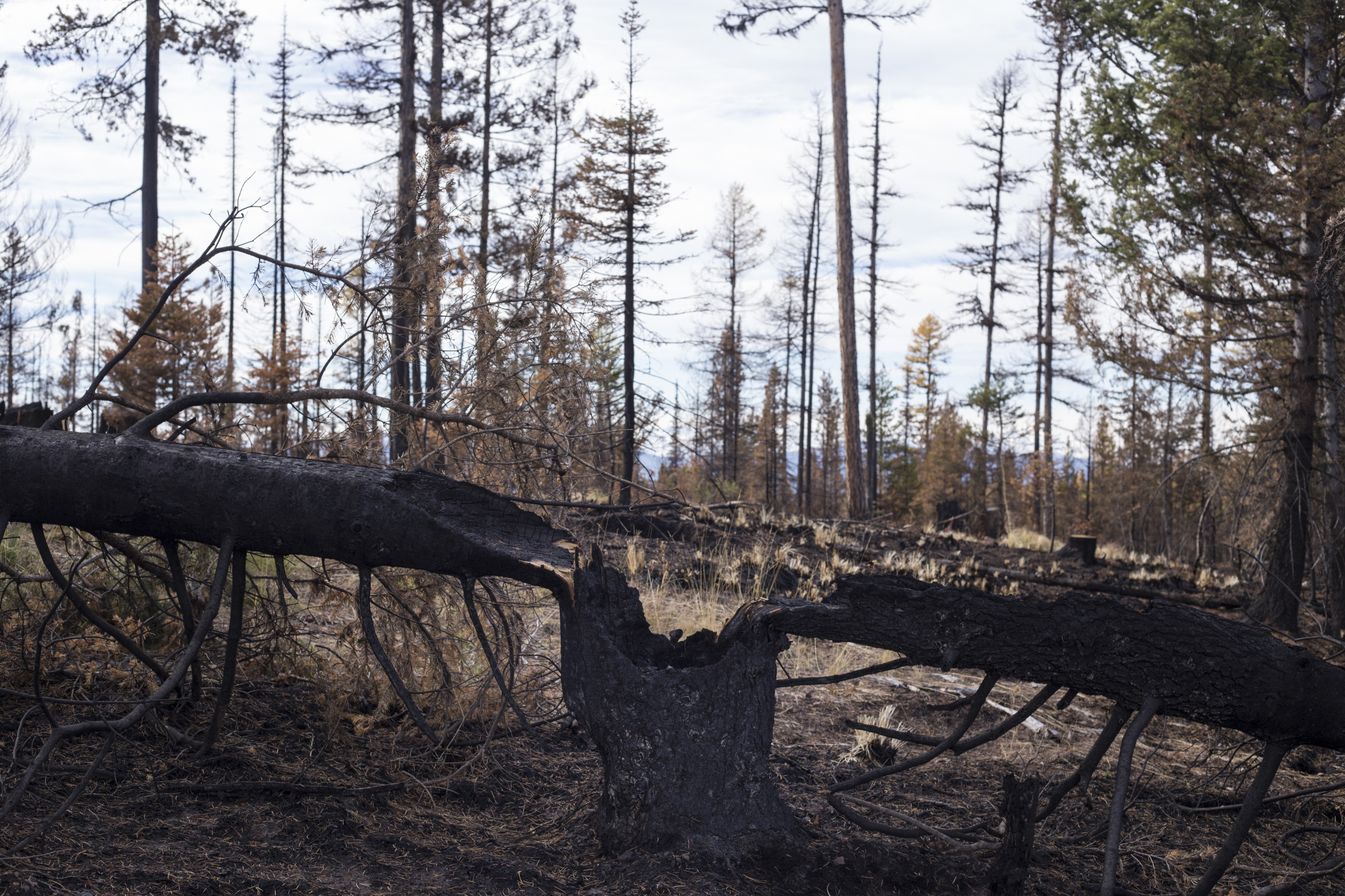 A tree is seen burned and split in half following the Rice Ridge Fire in a forest outside of Seeley Lake, Montana, on Thursday, October 19, 2017. (Photo by Brittany Greeson)