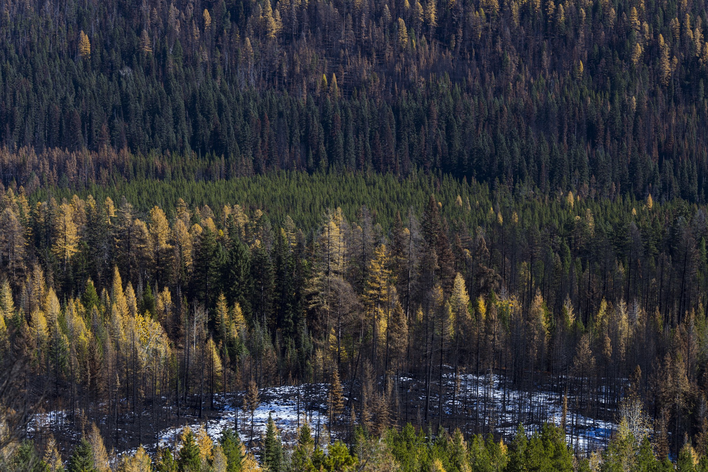 A mosaic of burned and flourishing trees is seen following the Rice Ridge Fire in a forest outside of Seeley Lake, Montana, on Thursday, October 29, 2017. (Photo by Brittany Greeson)