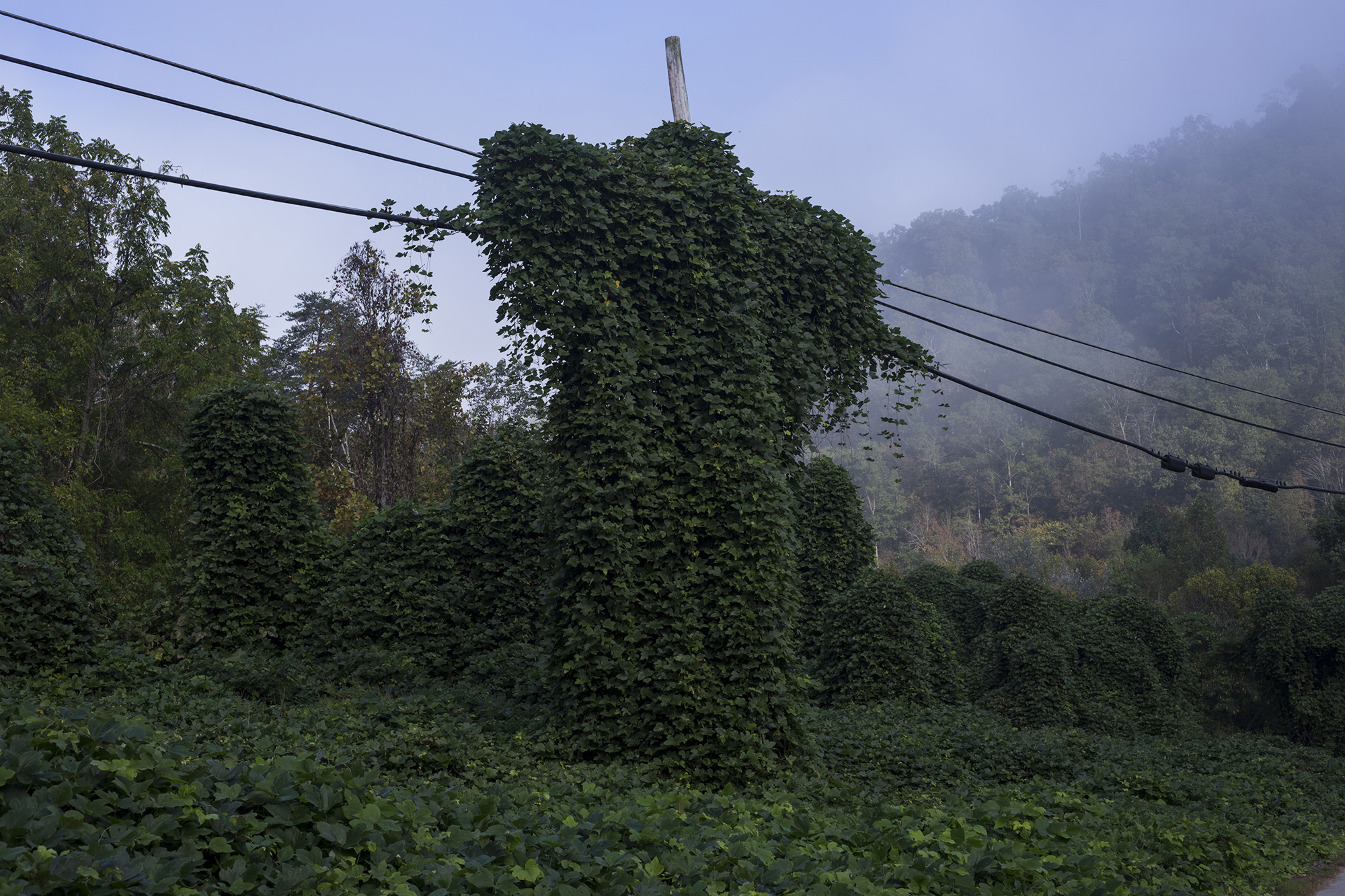 An electrical pole is over powered by kudzu in Hi Hat, Ky., on Friday, September 22, 2017. (Brittany Greeson/GroundTruth)