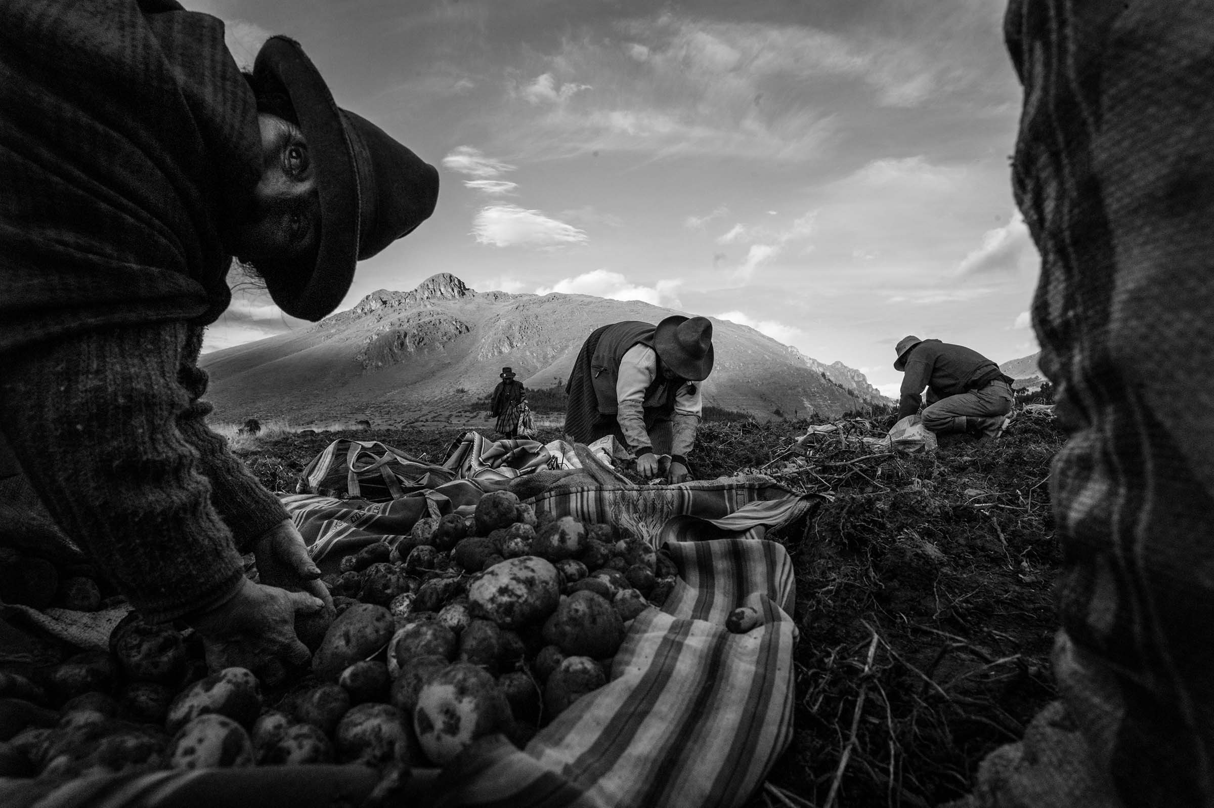 Women harvest potatoes, one of the major staple crops in the Sacred Valley. (Alessandro Cinque/GroundTruth)