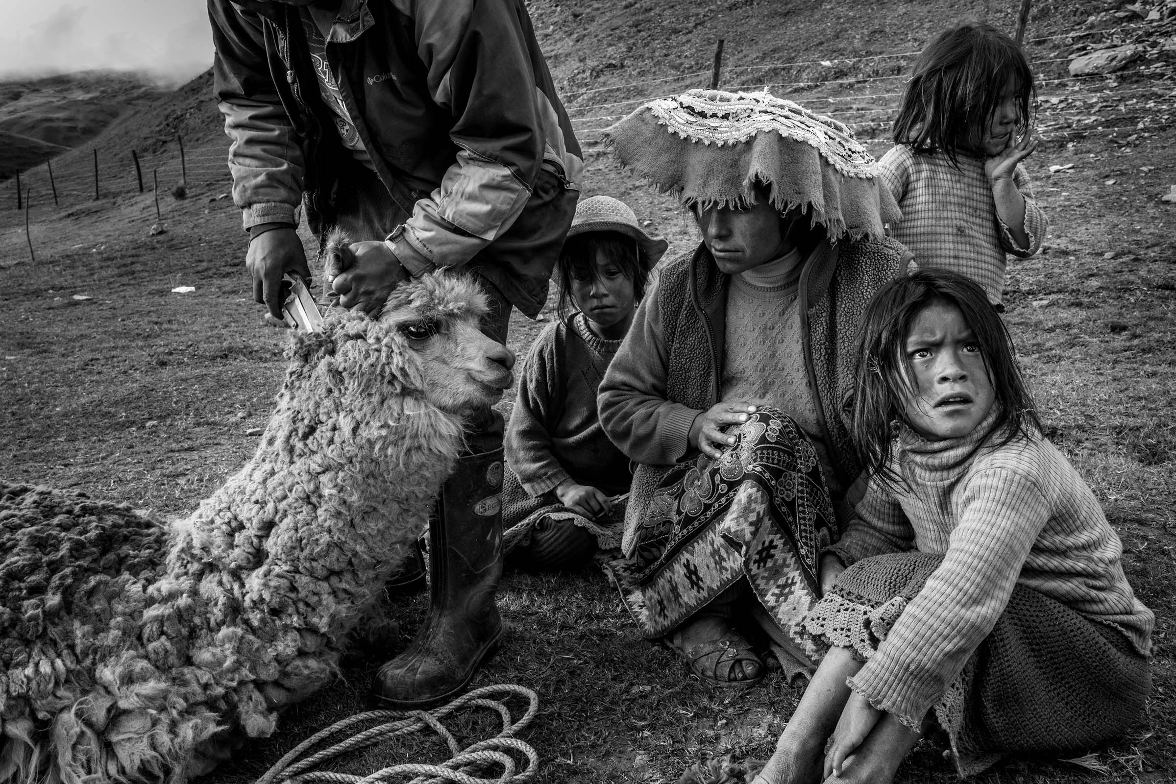 A family hand shears its llama for its wool. (Alessandro Cinque/GroundTruth)