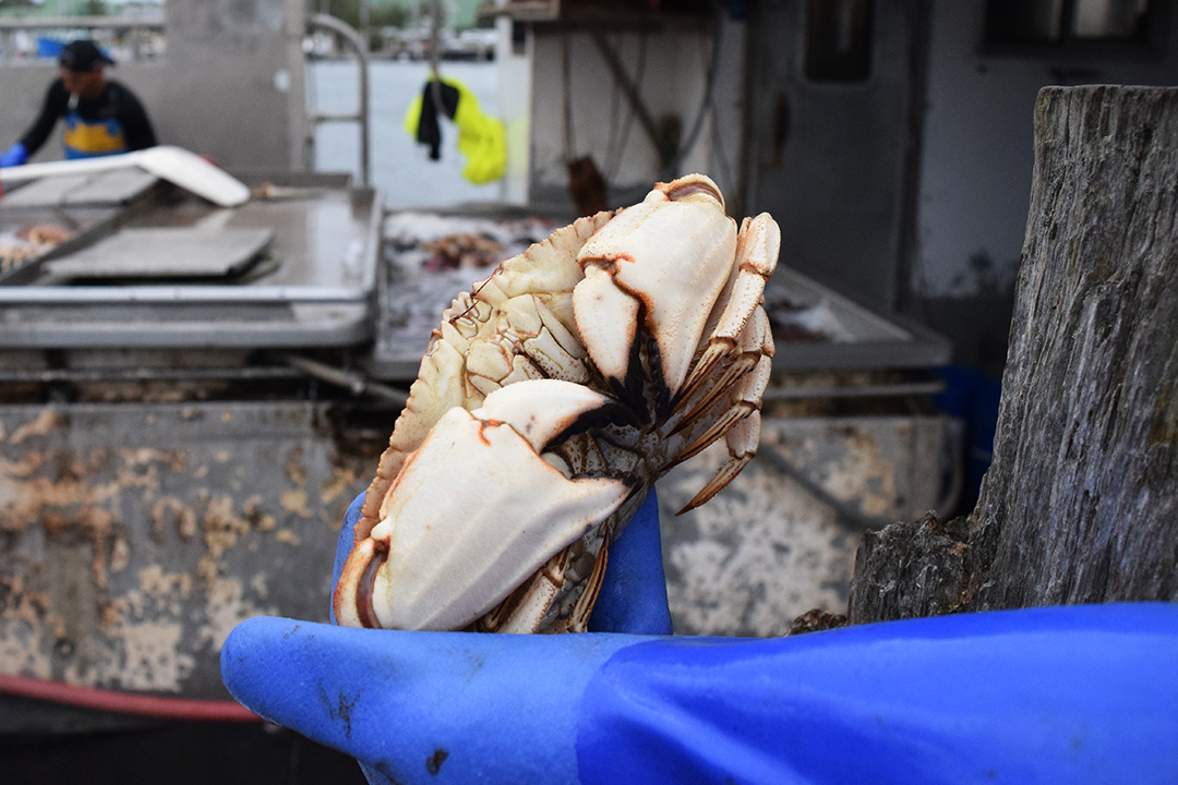 Jonah crab are sturdy, hard-shelled creatures with black-tipped claws. They weigh about a pound apiece. (Photo by Pien Huang/WCAI)