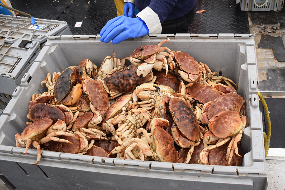 Jonah crab are sustaining Southern New England fishermen left stranded by the decline of lobsters. (Photo by Pien Huang/WCAI)