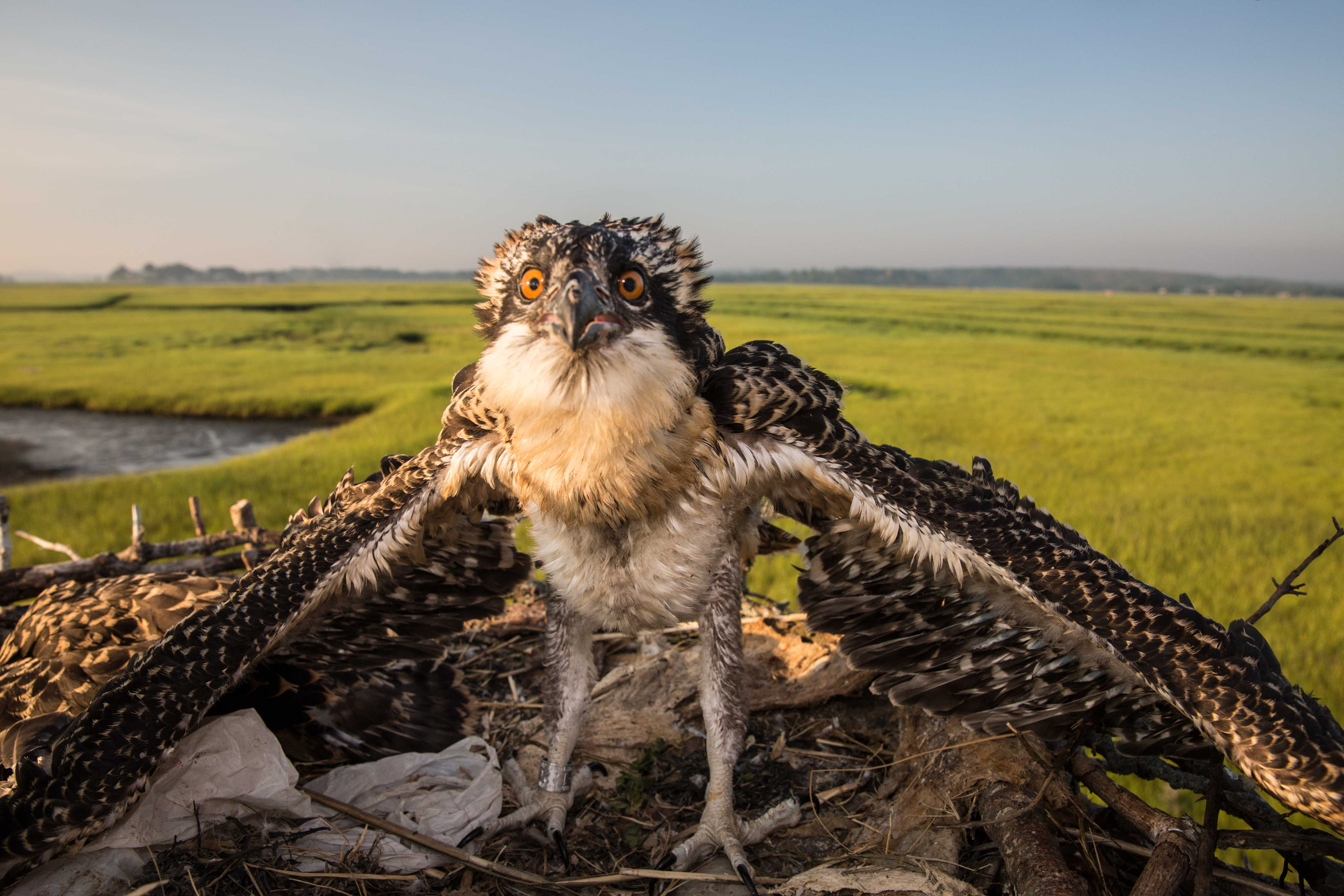 Just banded, this osprey chick glares from its nest on a platform on the Great Marsh. Females lay two to four eggs in the spring. About two months after the birds hatch, they begin to fly, but they stick with their families while they learn to fish. Adult ospreys tend to return to the same nest each year. (Photo by Coco McCabe/GroundTruth)