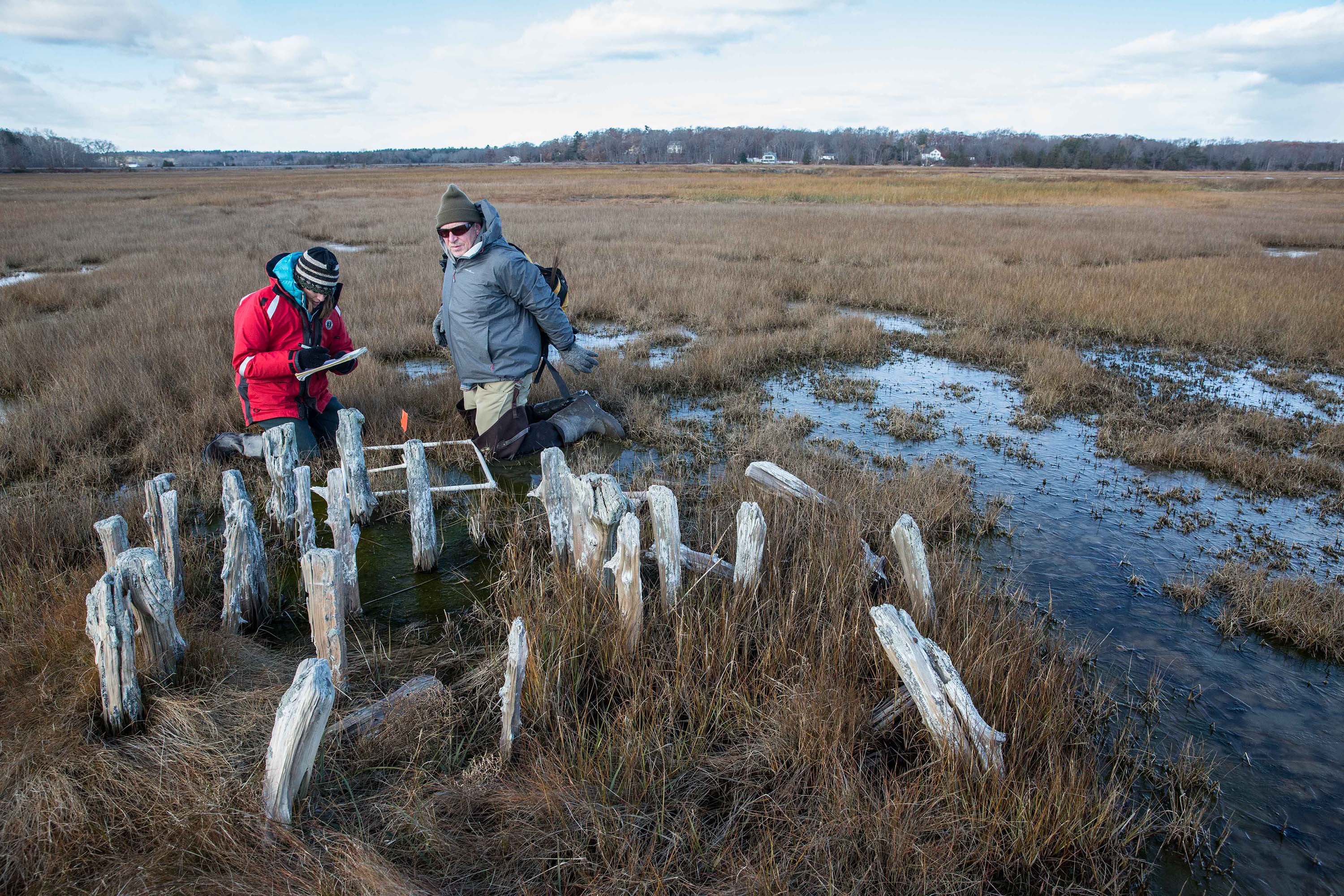 Alyssa Novak, a coastal ecologist and research assistant professor at Boston University, works with Peter Phippen, a coastal scientist, to measure vegetation height and density on the Great Marsh in Newbury. Both scientists are dedicated to ensuring the health of this vast wilderness. The wooden posts in front of them are the remains of an old straddle on which mounds of salt hay were stacked, once a common sight on the marsh. (Photo by Coco McCabe/GroundTruth)