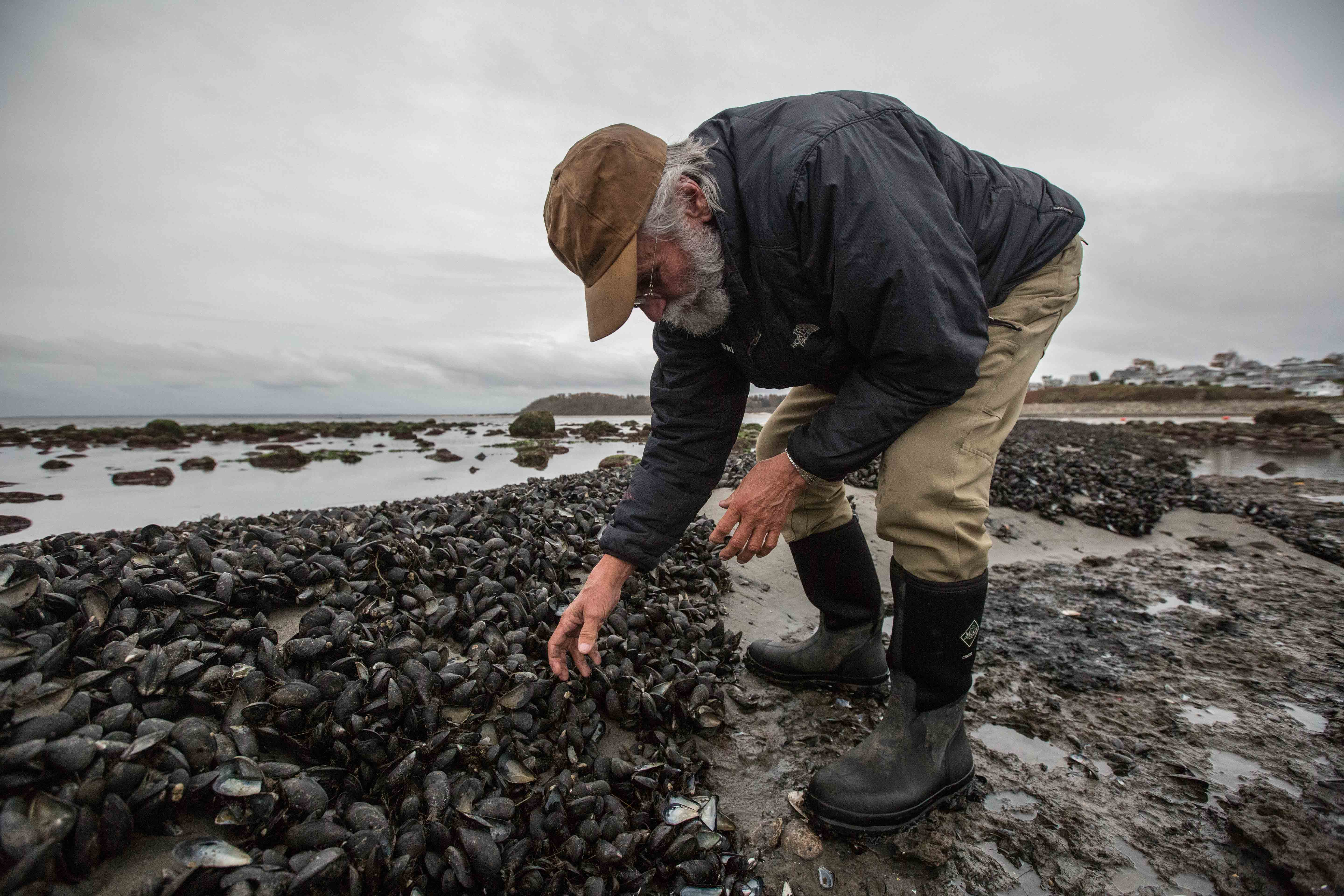 Geoff Walker, a water fowler and conservationist who has long dedicated his time to helping preserve the Great Marsh, examines a healthy bed of mussels. He's working with a team to study water conditions that are conducive to mussel growth. Mussel reefs can serve as natural storm buffers and help protect the coastline. (Photo by Coco McCabe/GroundTruth)