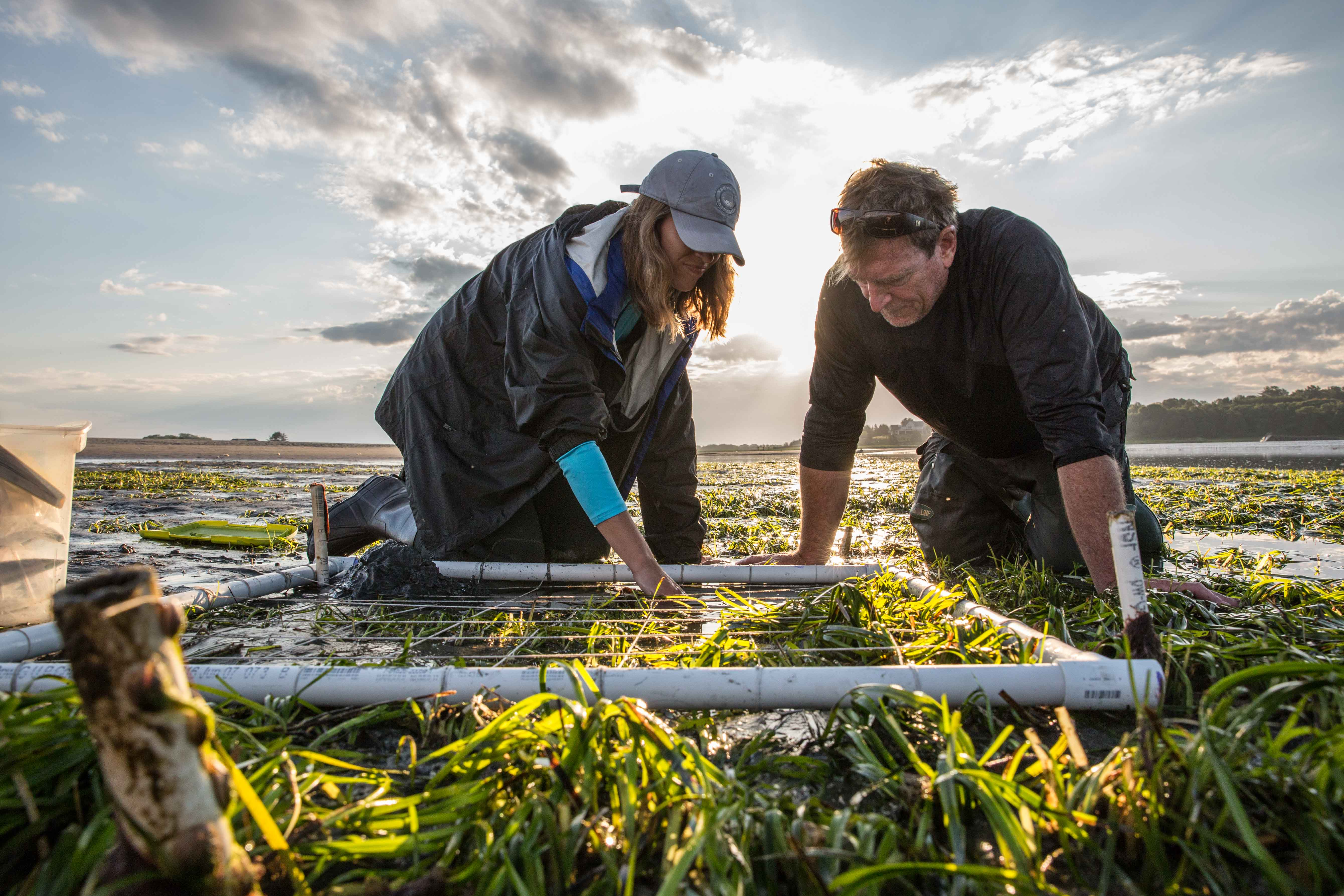 Scientists Alyssa Novak and Peter Phippen gather data from a new bed of eelgrass in the Great Marsh in Essex. Volunteers spent three years transplanting more than 25,000 plants here. The eelgrass is a boon to the ecosystem, says Novak: it helps water quality, stabilizes sediments, and shelters baby marine animals. (Photo by Coco McCabe/GroundTruth)