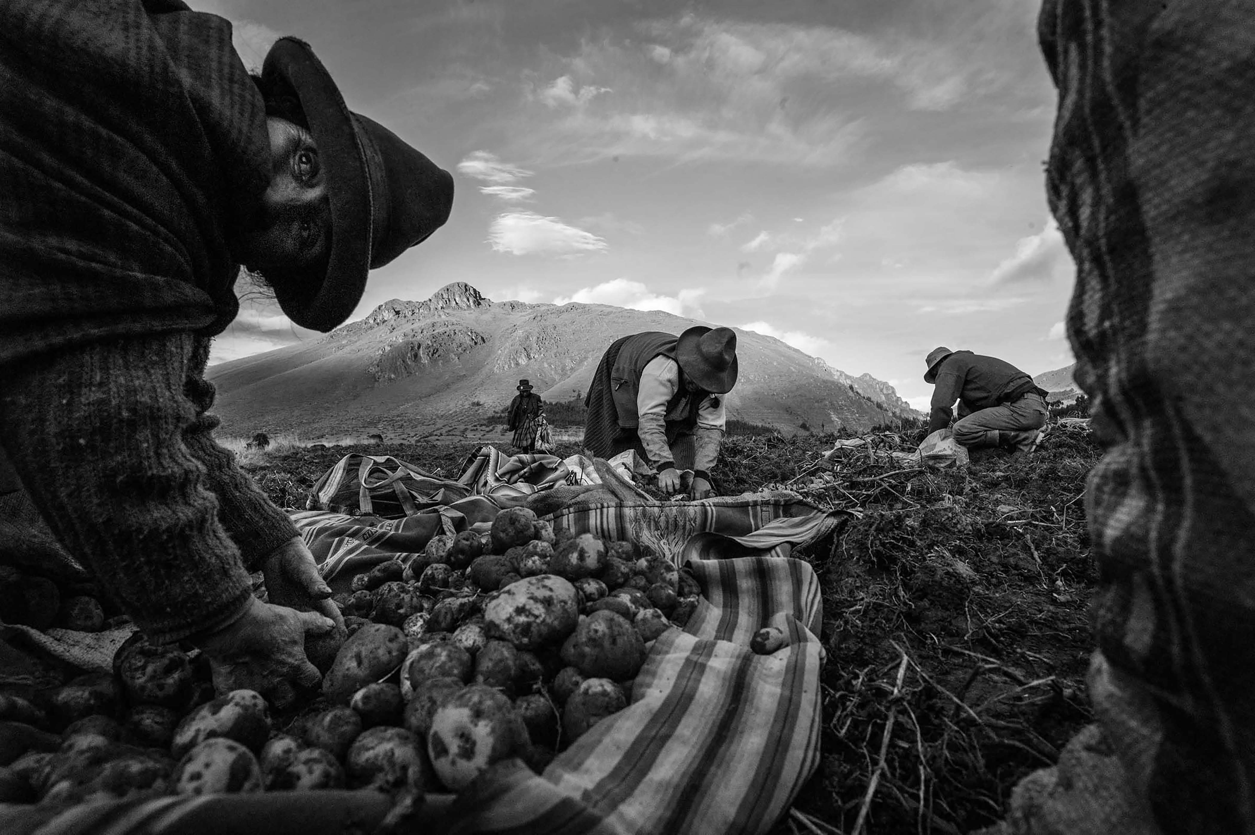 Women harvest potatoes which are one of the major staple crops in the Sacred Valley. (Photo by Alessandro Cinque/GroundTruth)